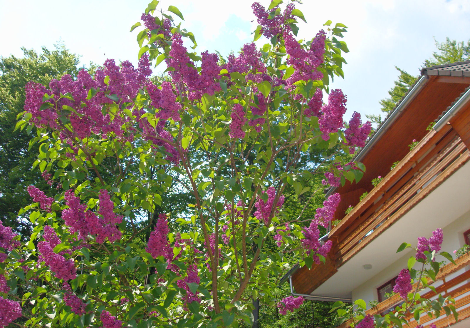 There's nothing like the smell of blooming Lilacs in the spring.