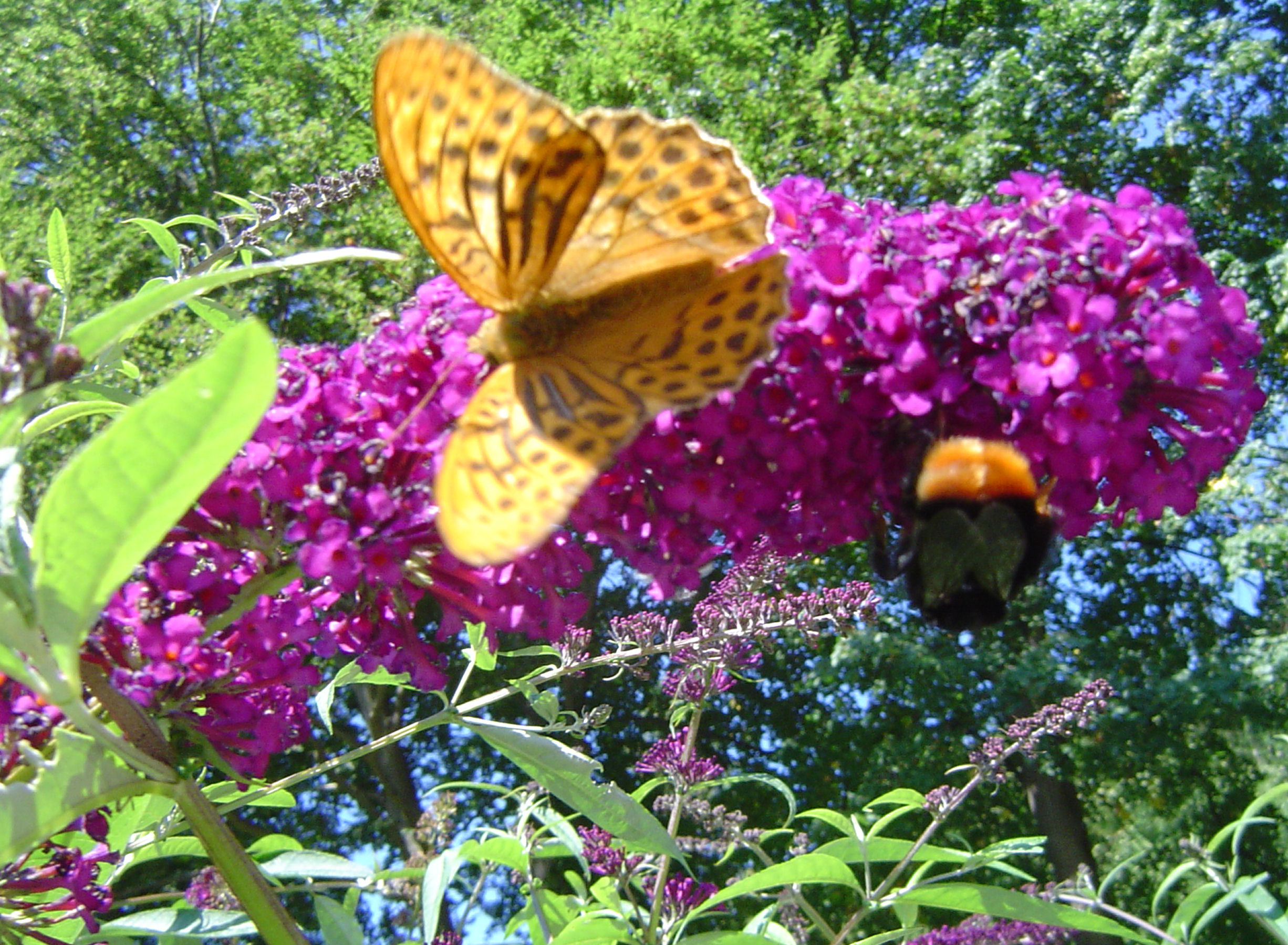 Butterfly and a bumblebee feeding on the Lilac bushes nearby the Fine Stay apartment