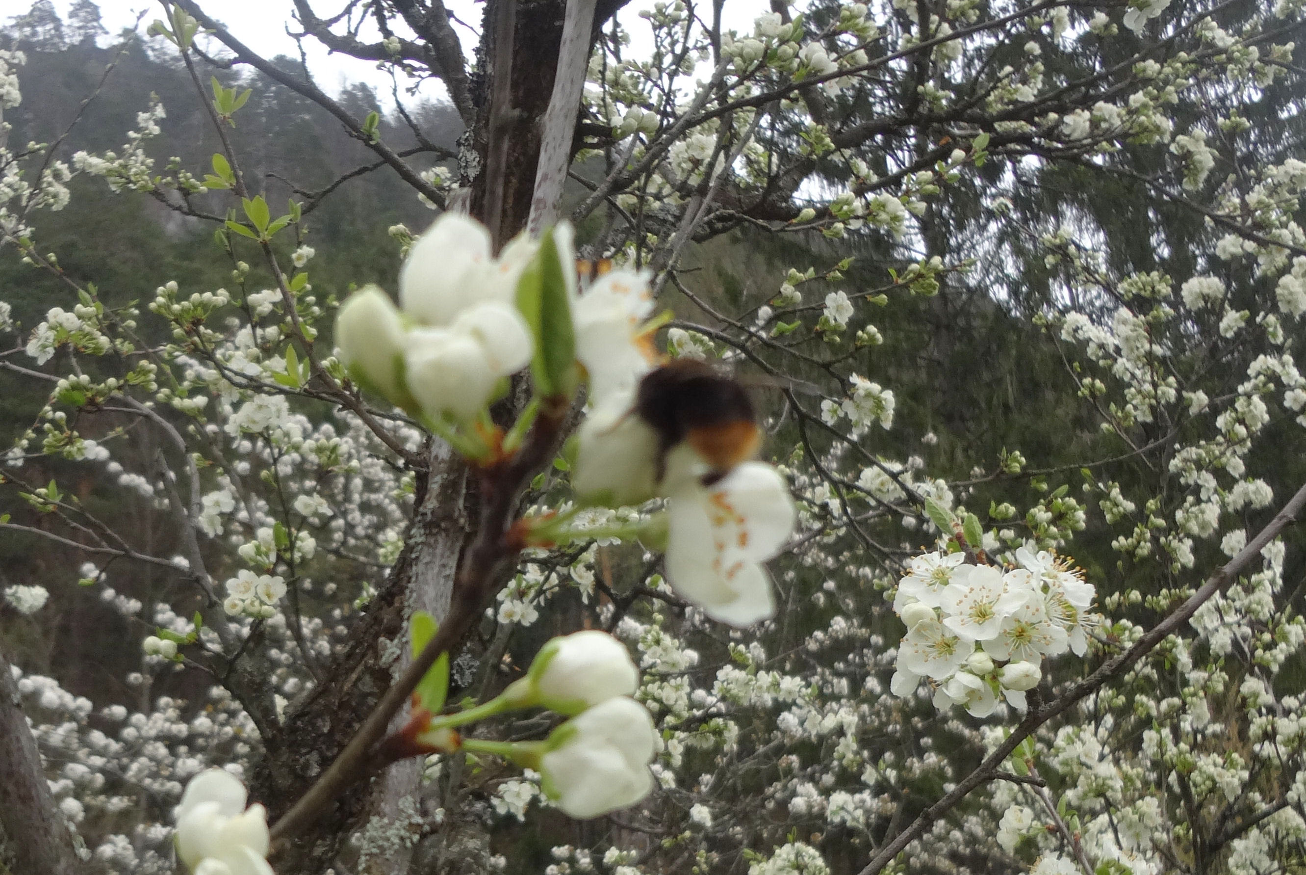 Bumblebee and cherry blossoms in a garden in front of the Fine Stay apartment