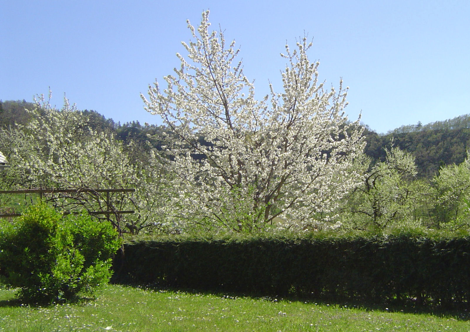 A cherry tree blooming in the spring