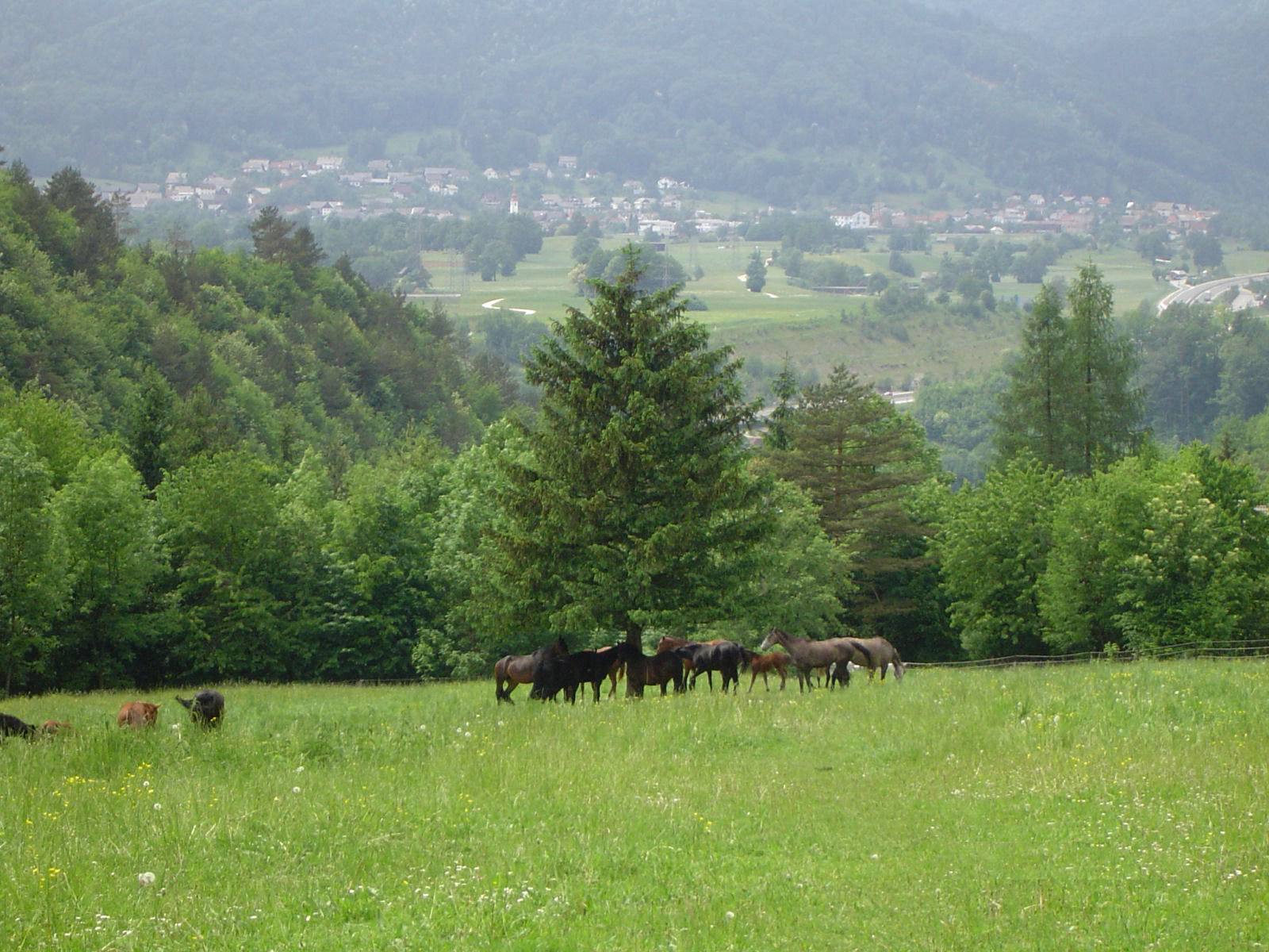 A group of horses on a pasture in the Gorenjska region of Slovenia