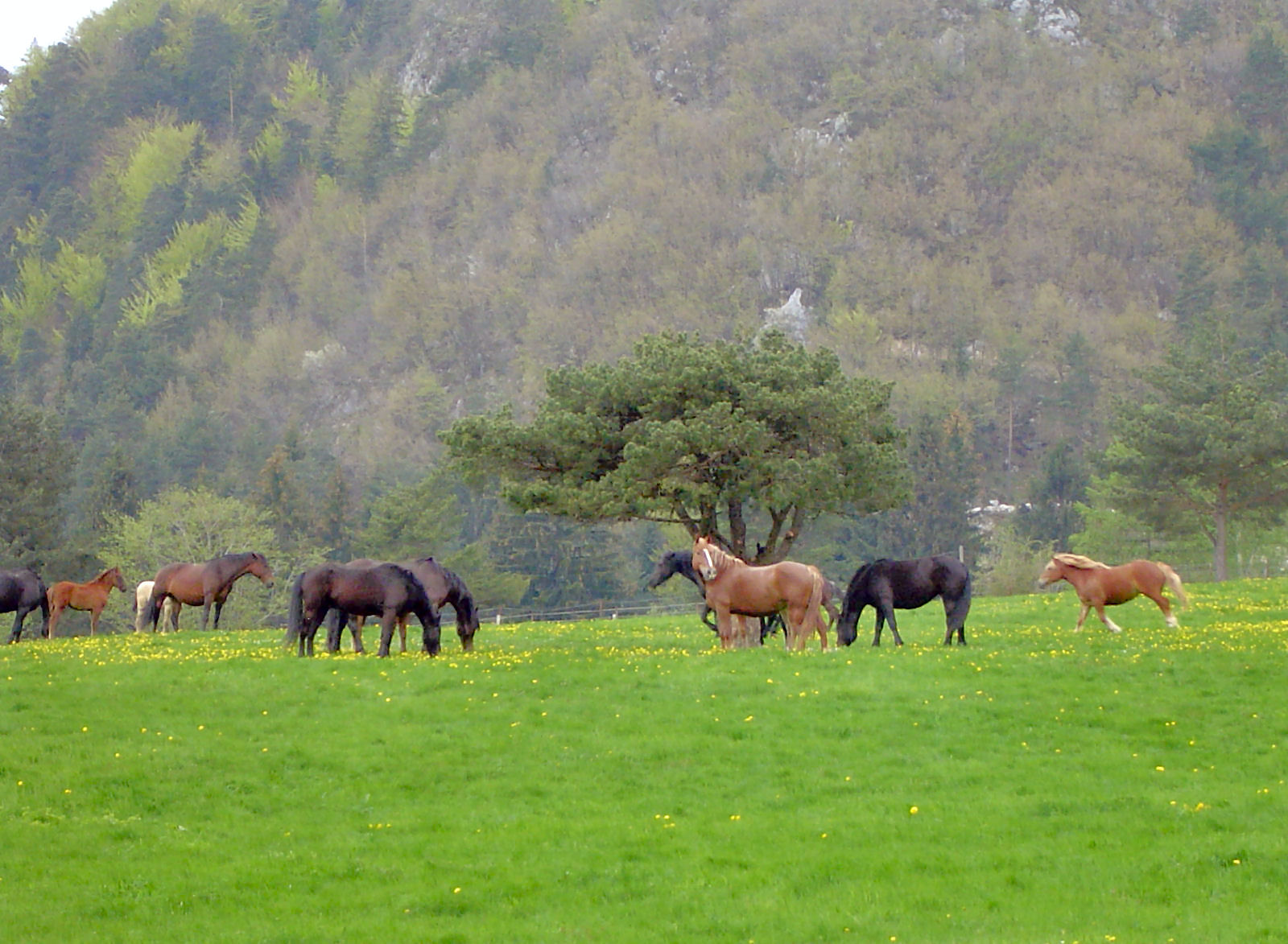A group of horses grazing on a pasture near Bled