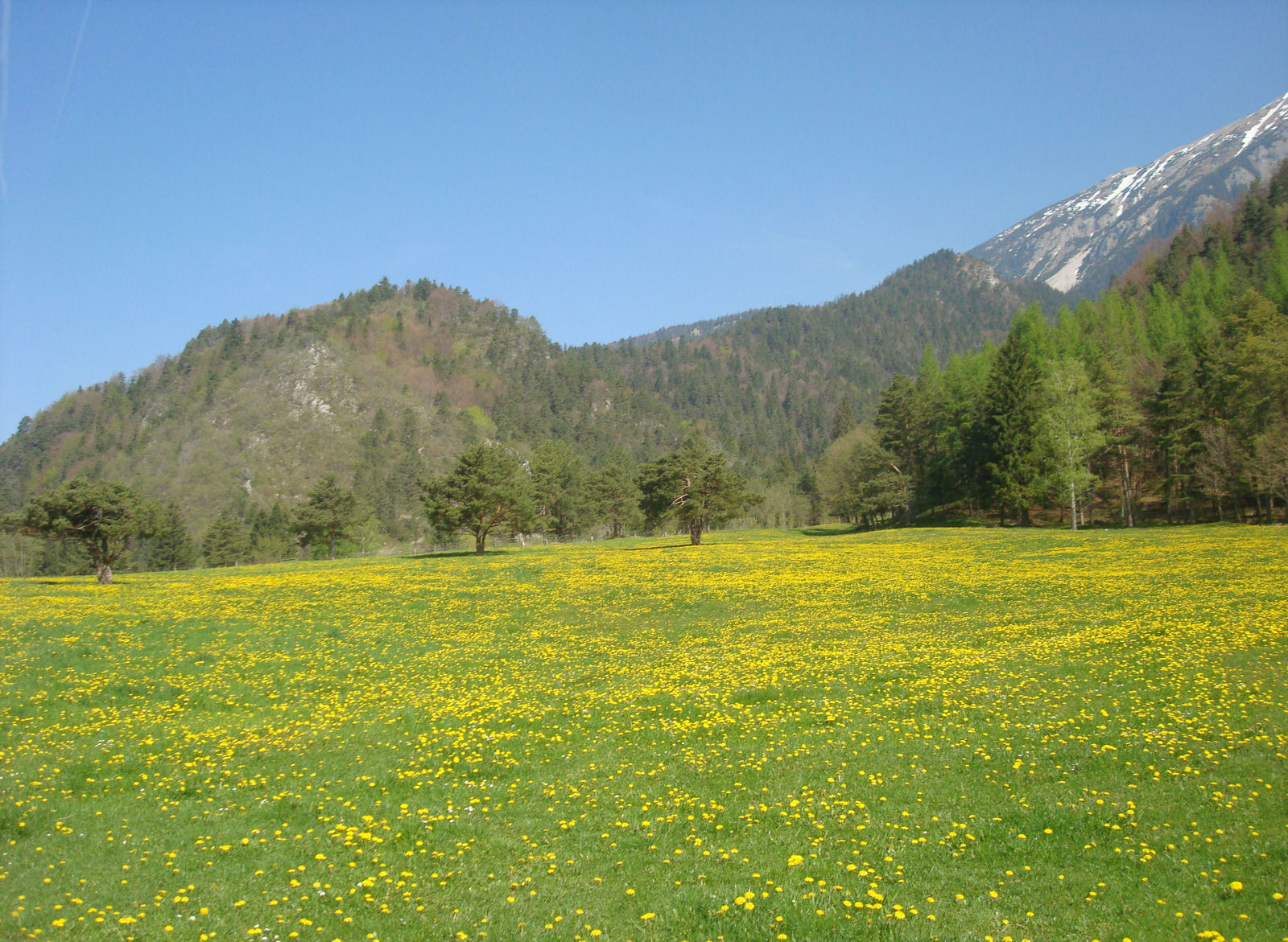 Yellow dandelion meadows in the spring in the Zavrsnica valley, Slovenia