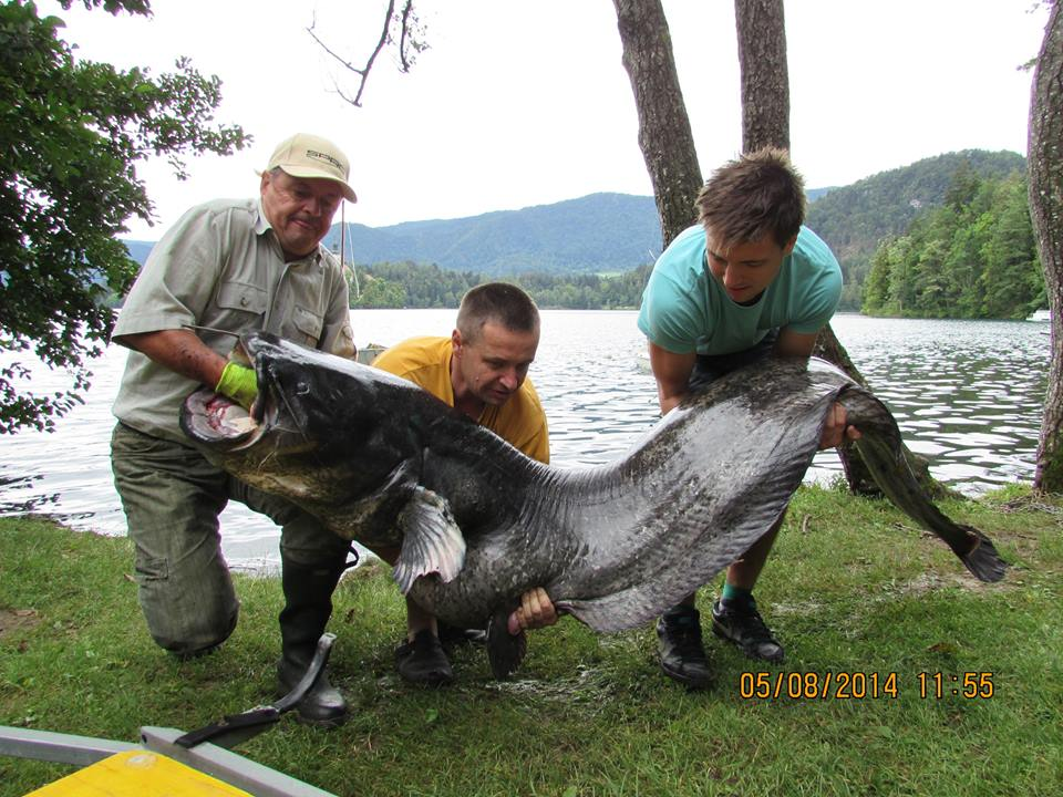 A fisherman caught a 2,45 meters long catfish in the Lake Bled