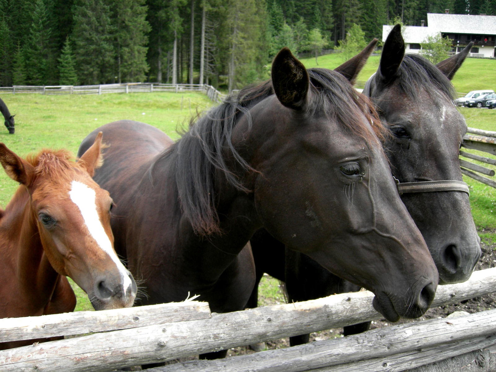 Some horses in Pokljuka, Slovenia