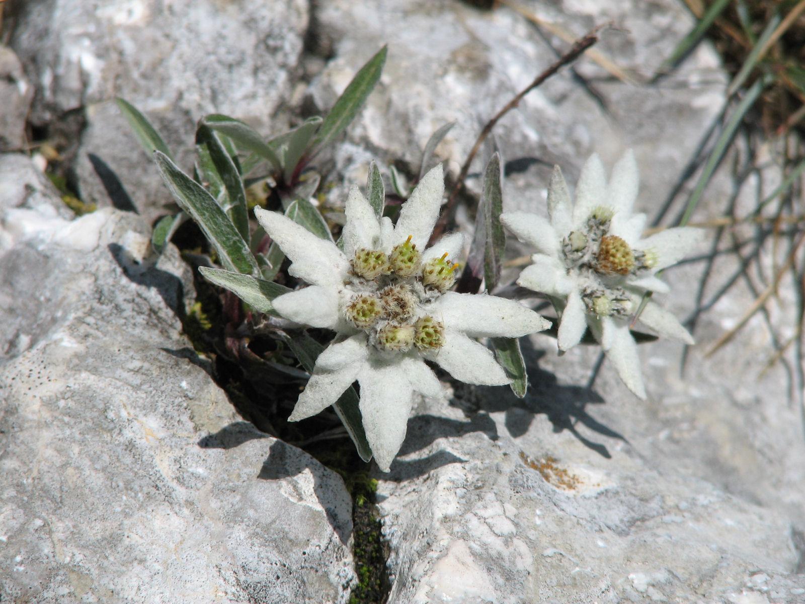slovenian-alps-edelweiss