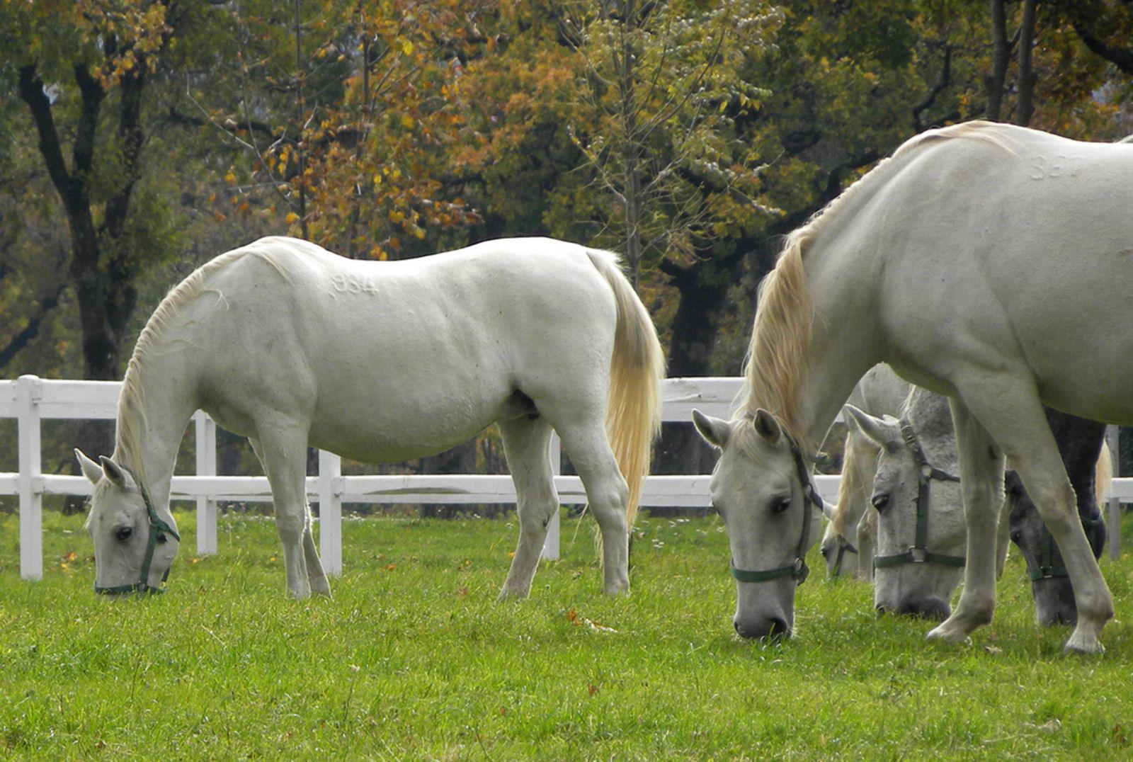 lipica-stud-farm-slovenia-lipizzan-horses