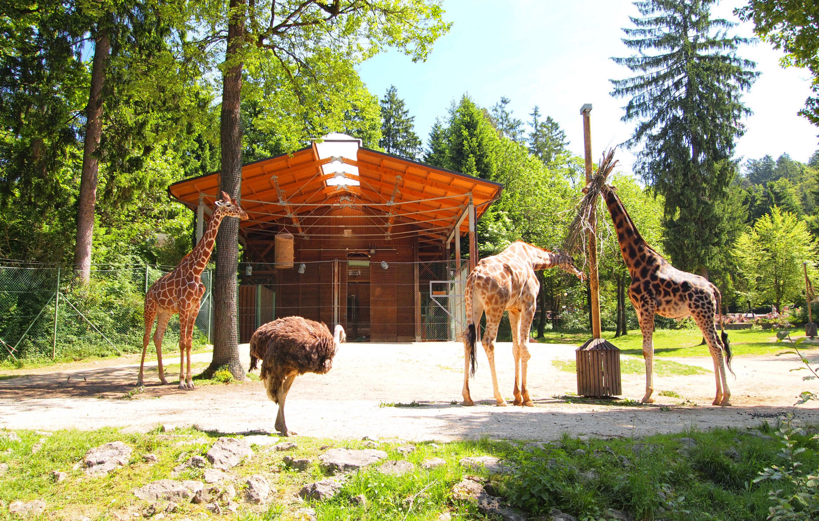 Giraffes in the Ljubljana zoo, Slovenia