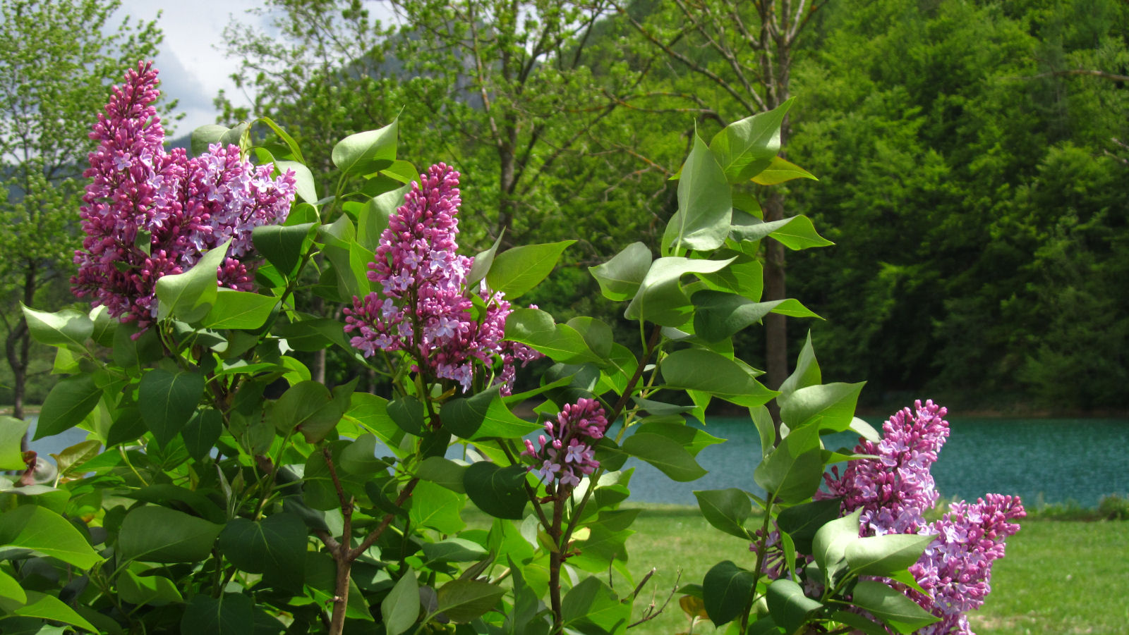 Blooming Lilacs and the Zavrsnica reservoir in the background