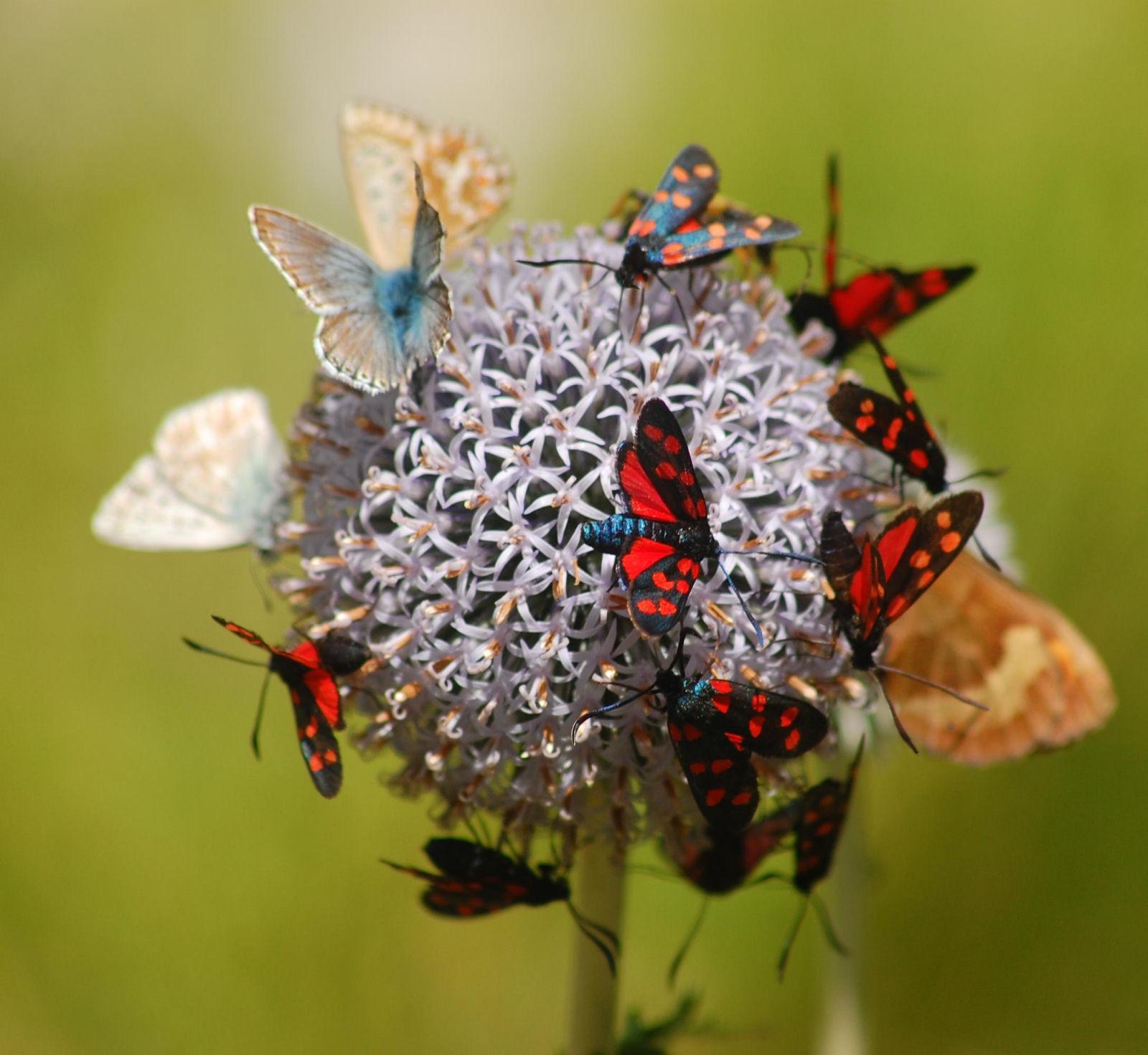 Butterflies on a flower in the Alpinum Juliana alpine botanical garden in Trenta, Slovenia