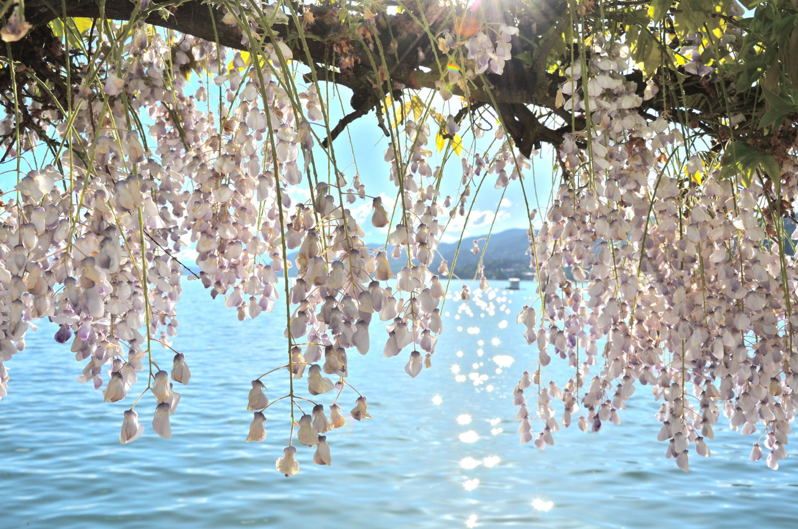 lake-woerthersee-wisteria-promenade-carinthia