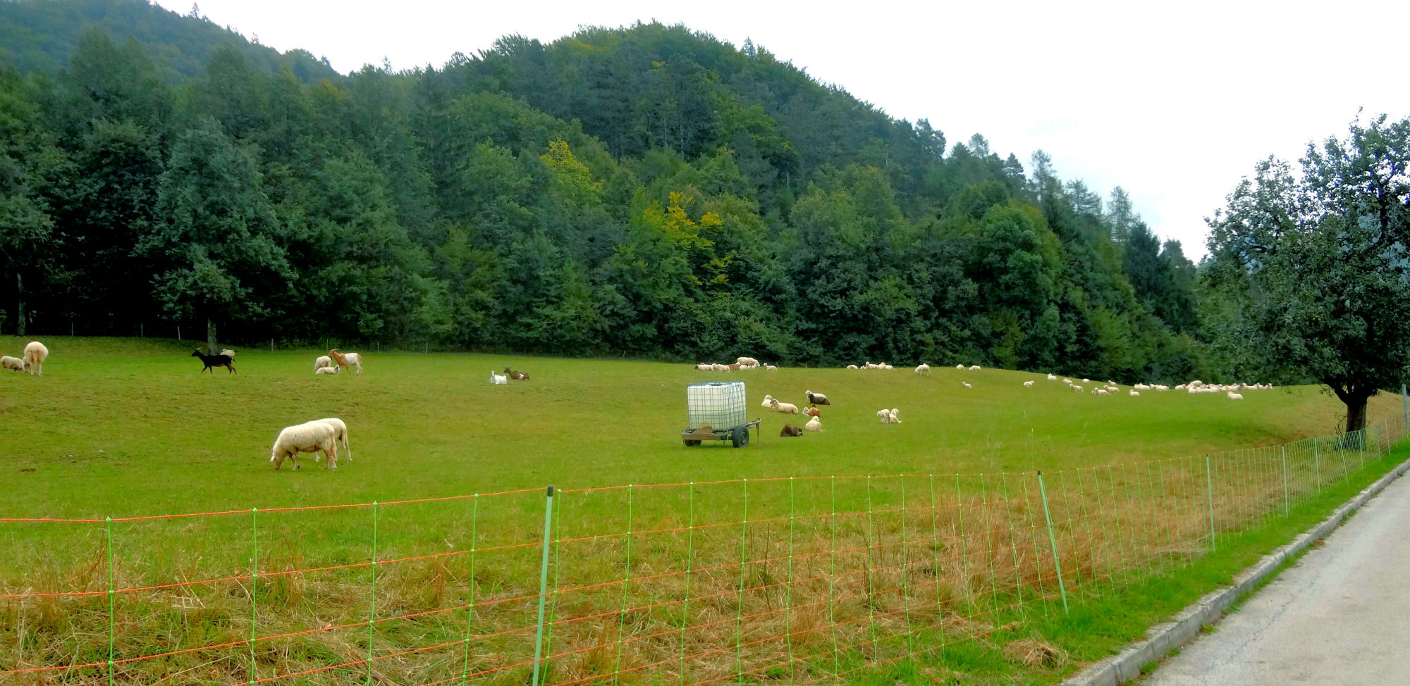 sheep-grazing-in-a-pasture
