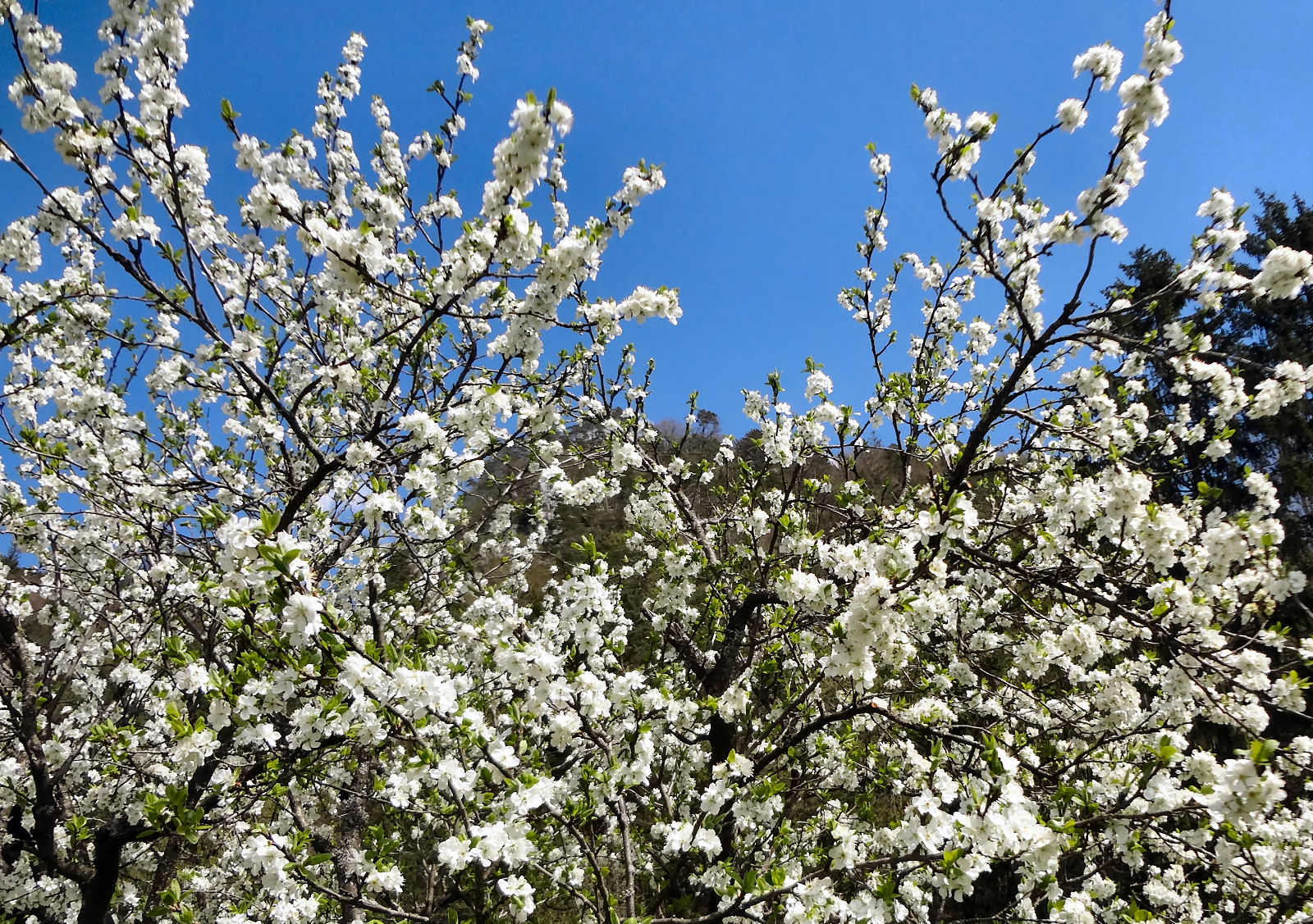 Blooming fruit tree in spring