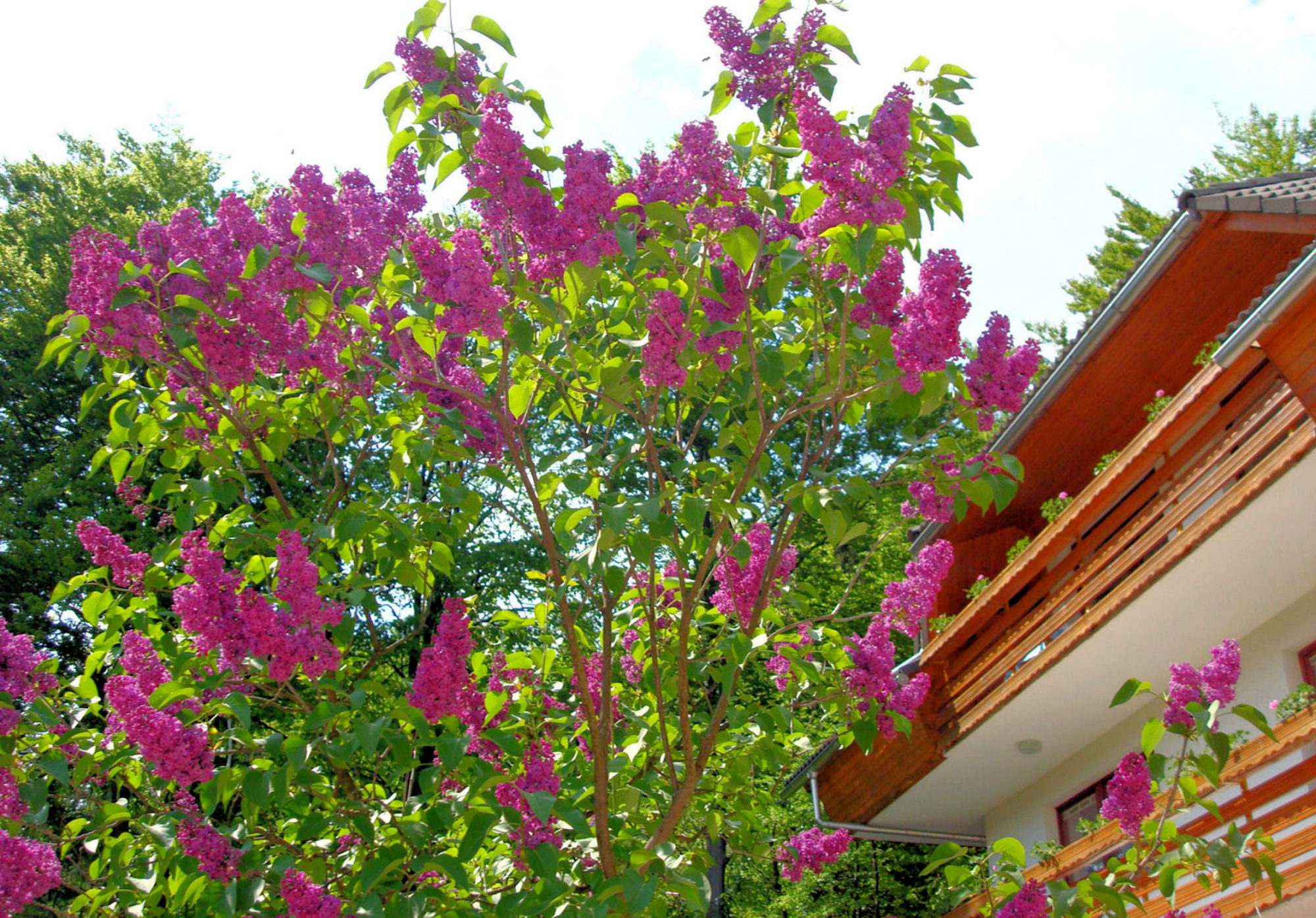 Blooming Lilacs in front of Apartments Fine Stay in the Bled area of Slovenia