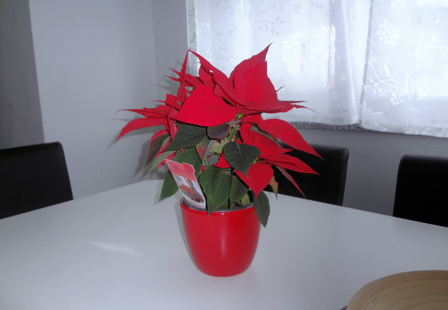 The queen of the Christmas plants, a poinsettia on the dinning table