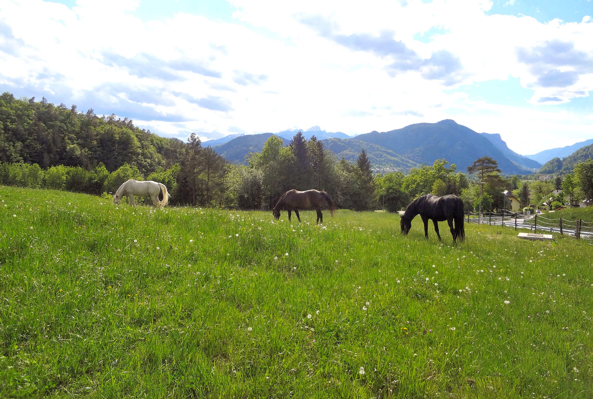 Horses on a pasture in the green Zavrsnica valley in Slovenia